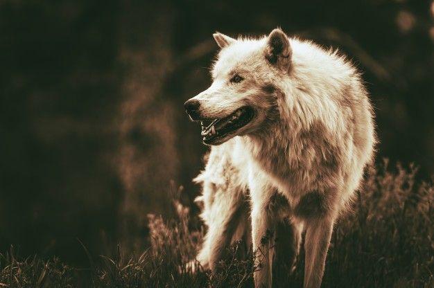 Animal Totem loup et son symbolisme: ce que vous devez savoir