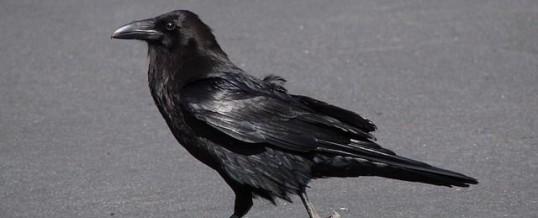 Animal totem corbeau et son symbolisme: ce que vous devez savoir