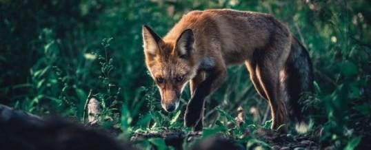 Tout savoir sur l'animal totem renard et son symbolisme