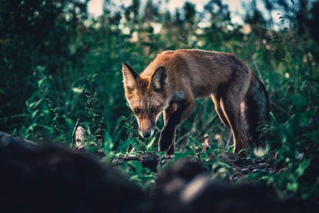 Animal totem renard